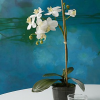 Bloom Petite Moth Orchid